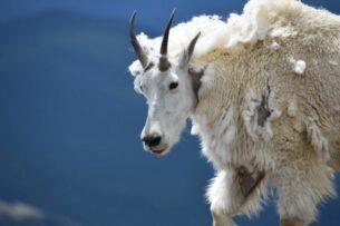 Горный козел забодал медведя гризли, пронзив хищника острыми рогами