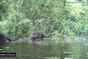 Нашли странных ягуаров: они живут стаей и рыбачат вместо охоты