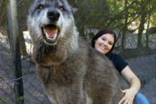 Женщина приютила волчонка. Через год он стал в полтора раза крупнее лесных волков